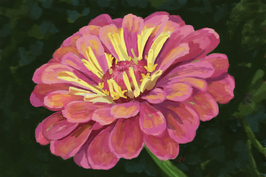 Pink zinnia flower with green background