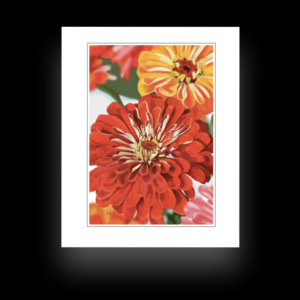 Orange & Yellow Zinnias Note Card